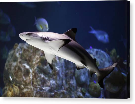 The Grey Reef Shark - Carcharhinus Amblyrhynchos Canvas Print