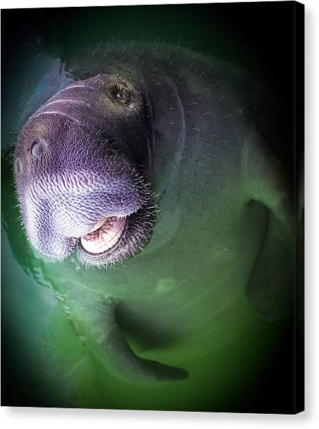 Florida Wildlife Canvas Print - The Happy Manatee by Karen Wiles