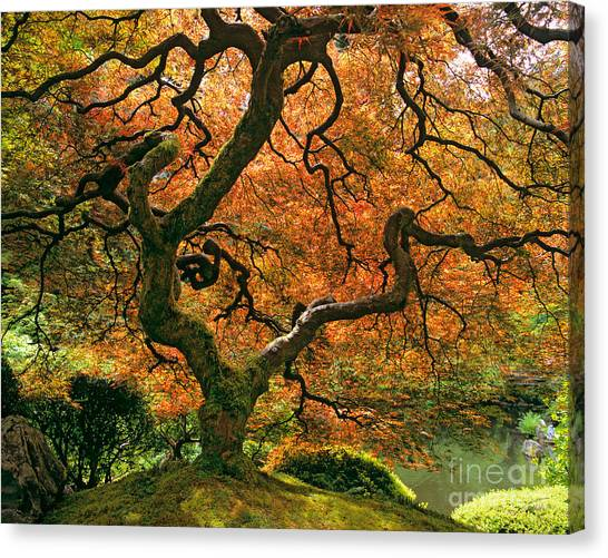 Japanese Garden Canvas Print - The Japanese Maple by Timm Chapman