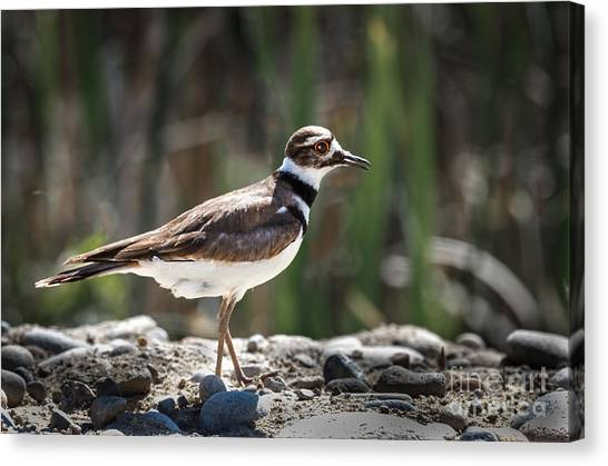 Killdeer Canvas Print - The Killdeer by Robert Bales