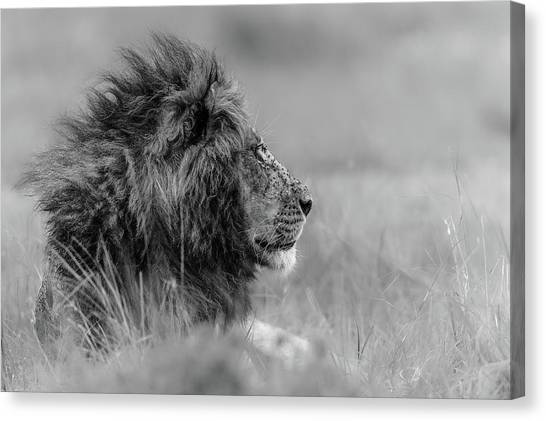 Africa Wildlife Canvas Print - The King Is Alone by Massimo Mei
