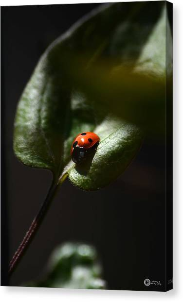 The Lady Bug Canvas Print by Phillip Segura