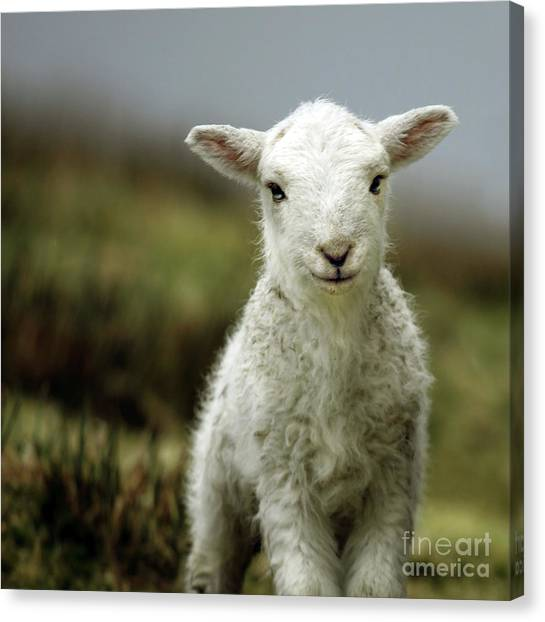 Baby Canvas Print - The Lamb by Angel Ciesniarska