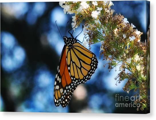 The Last Monarch Of The Season Canvas Print