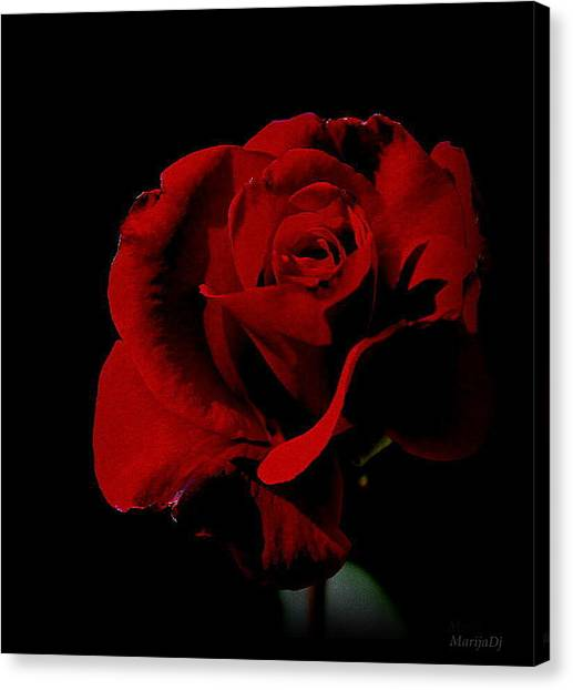 The Last Rose Of  Summer... Canvas Print
