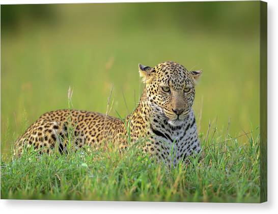 The Leopard Canvas Print by Roshkumar