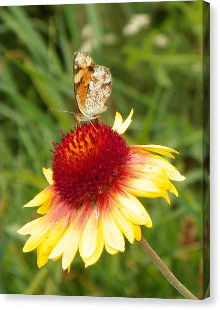 The Life Of A Butterfly Canvas Print by Margaret  Slaugh