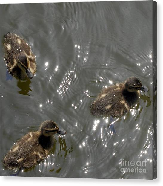 The Little Ducklings Out For A Swim Canvas Print