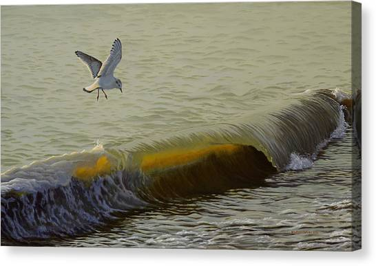 The Little Gull Canvas Print