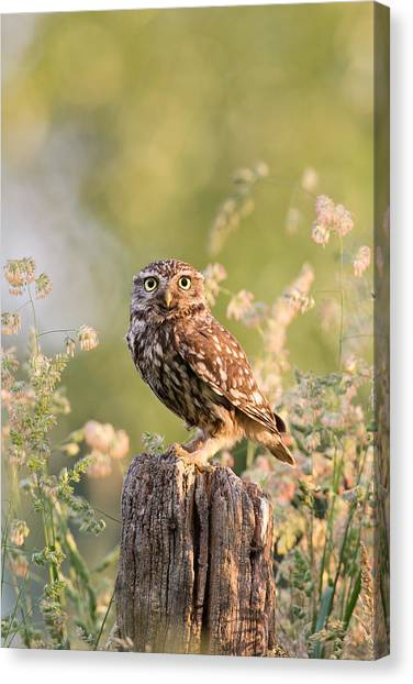 Owls Canvas Print - The Little Owl by Roeselien Raimond