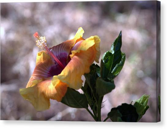 The Lonely Hibiscus Canvas Print