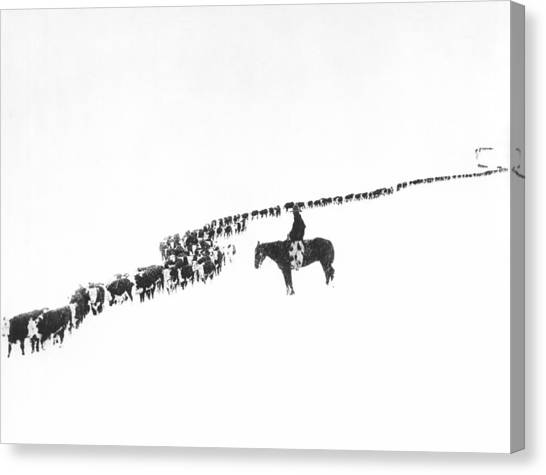 Cow Farms Canvas Print - The Long Long Line by Underwood Archives  Charles Belden