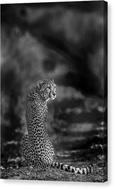 Cheetahs Canvas Print - The Look Back by Jaco Marx