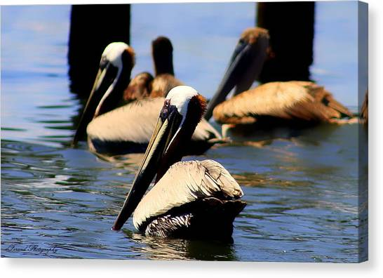 The Lovely Pelican  Canvas Print