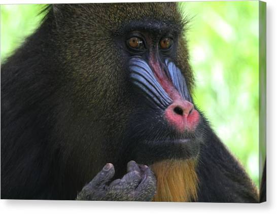 Congo River Canvas Print - The Mandrill by Dan Sproul