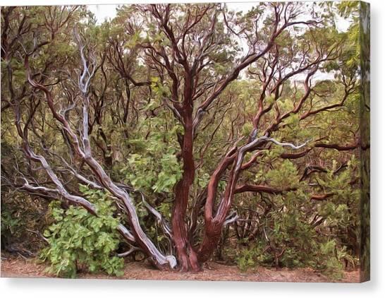 The Manzanita Tree Canvas Print