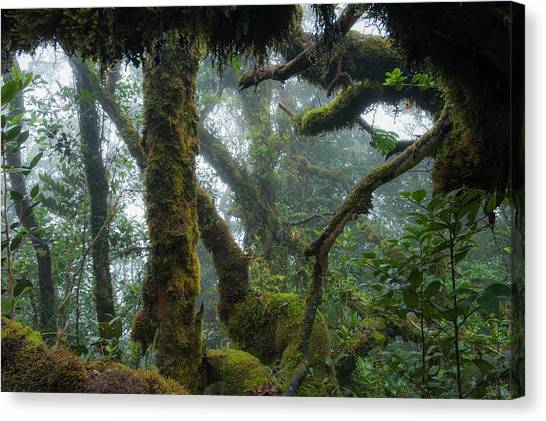 Mossy Forest Canvas Print - The Mossy Forest Of The Cameron Highlands by Scubazoo