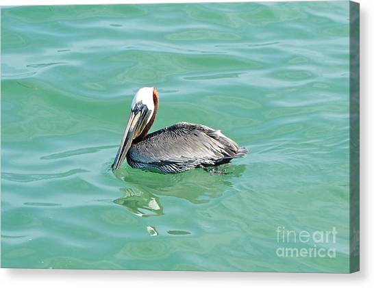 The Napping Pelican Canvas Print