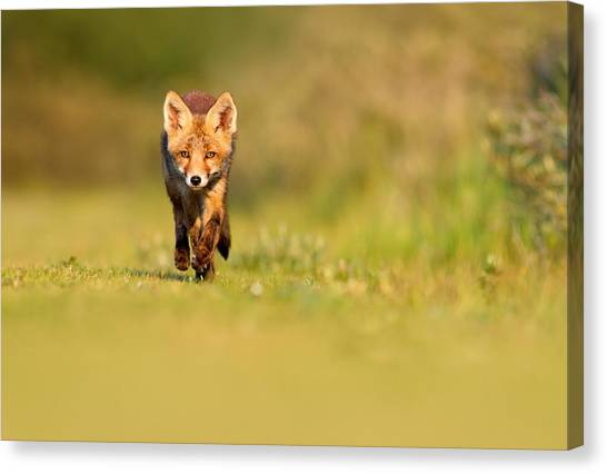 Carnivore Canvas Print - The New Kit On The Grass - Red Fox Cub by Roeselien Raimond
