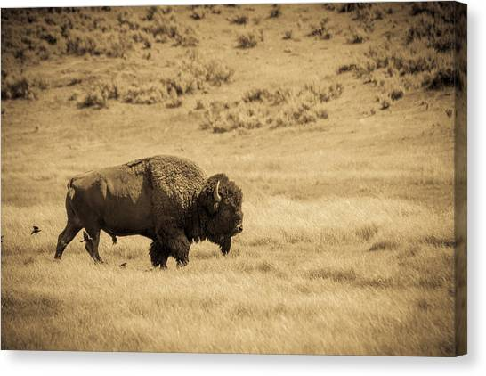 The Old Bull Canvas Print