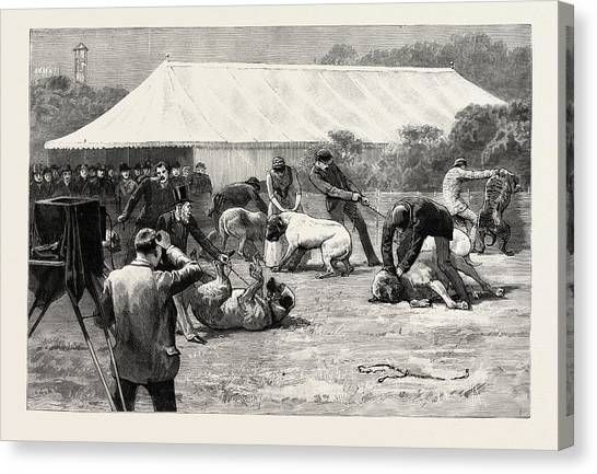 Mastiffs Canvas Print - The Old English Mastiff Club Show At The Crystal Palace by English School