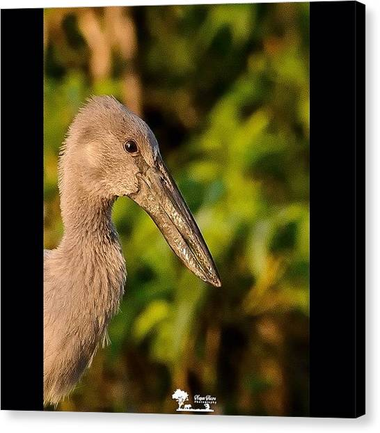 Storks Canvas Print - The Open Bill  Okay, I Am Not by Nayan Hazra