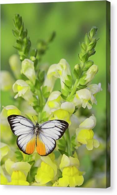 The Orange Gull Butterfly, Cepora Canvas Print by Darrell Gulin