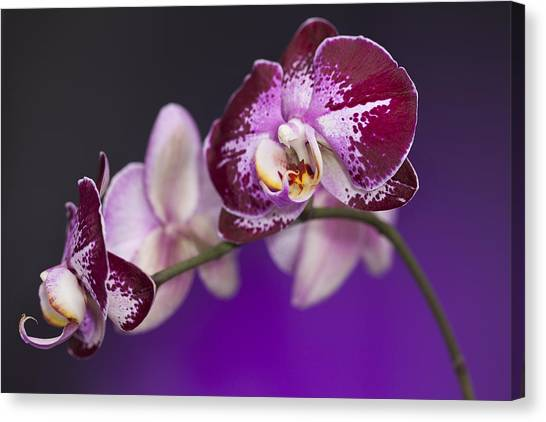 Lavendar Canvas Print - The Orchid Watches by Jon Glaser