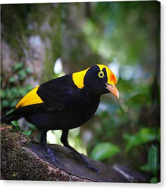 Rainforests Canvas Print - Ornate Regent Bowerbird by Paul Rushworth