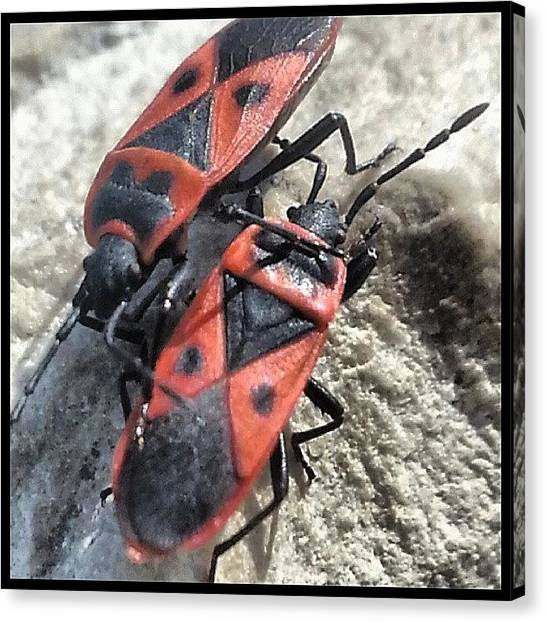 Beetles Canvas Print - The Passing Lane Os A Little Narrow For by Kevin Previtali