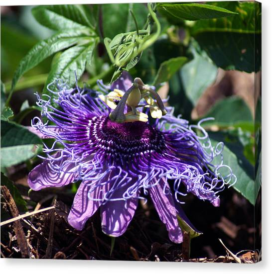 The Passion Flower Canvas Print
