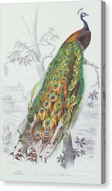 Large Birds Canvas Print - The Peacock by A Fournier