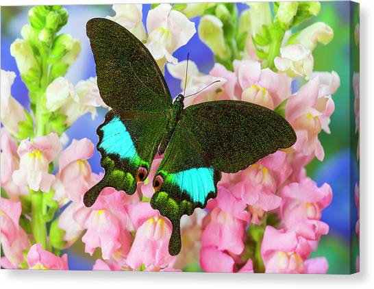 Snapdragons Canvas Print - The Peacock Swallowtail Butterfly by Darrell Gulin