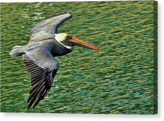 The Pelican Glide Canvas Print