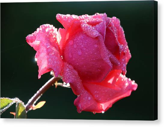 The Perfect Rose Canvas Print by Michael Williams