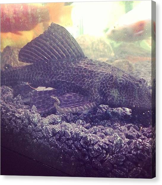 Tanks Canvas Print - The Plec Downstairs. #goldfish by Liam James Mcdonald
