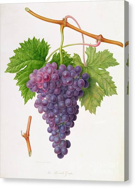Wild Berries Canvas Print - The Poonah Grape by William Hooker