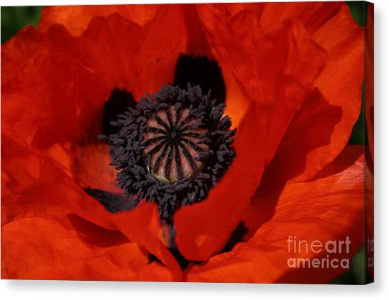 The Poppy Is Also A Flower Canvas Print