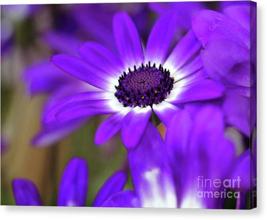 The Purple Daisy Canvas Print