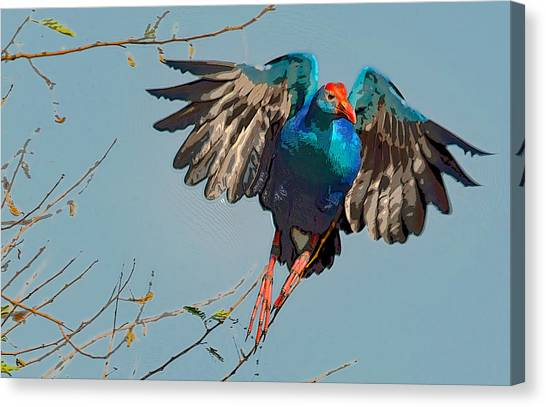 The Purple Swamphen Canvas Print