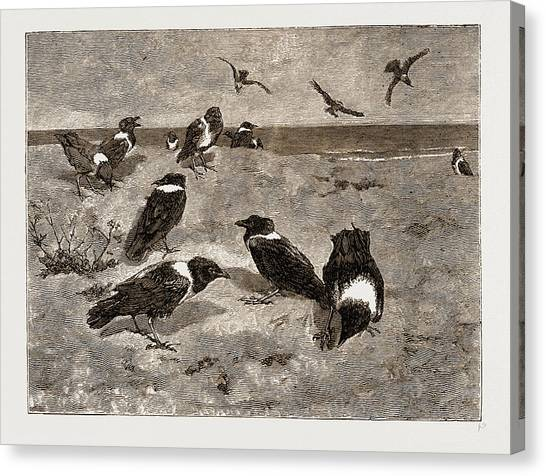 Congo River Canvas Print - The River Congo Scapulated Crows On The Beach At Banana by Litz Collection