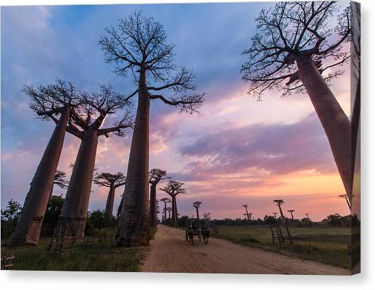 The Road To Morondava Canvas Print