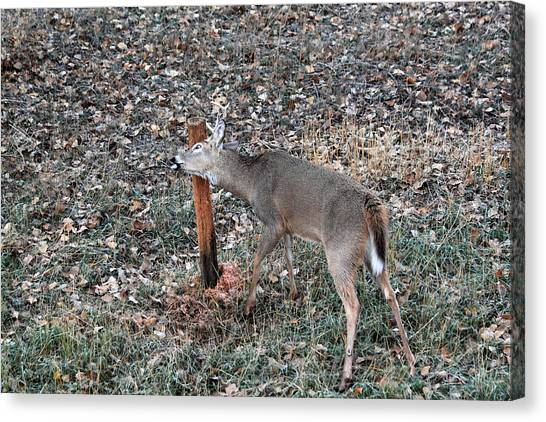 The Rut Canvas Print