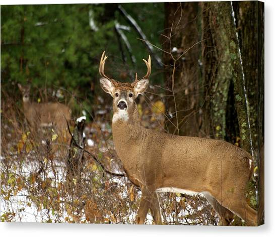 The Rutting Whitetail Buck Canvas Print