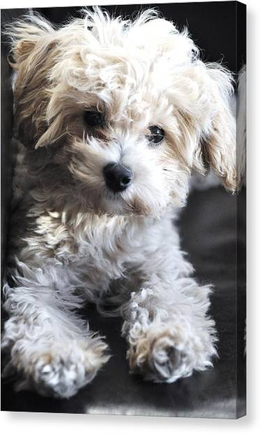 the Sacred Maltese Canvas Print