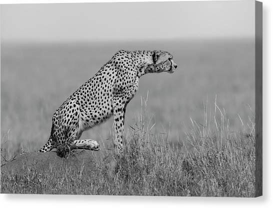 Cheetahs Canvas Print - The Sentinel by Marco Pozzi