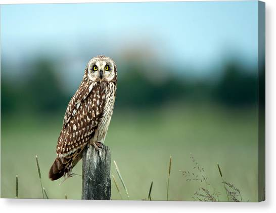The Short-eared Owl  Canvas Print