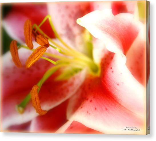 The Soft Glow Of A Lily Canvas Print by Alexandra  Rampolla