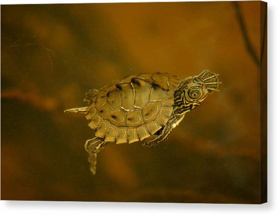 The Southeastern Map Turtle Canvas Print