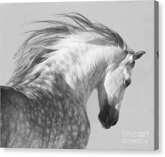 White Horse Canvas Print - The Spanish Stallion Tosses His Head by Carol Walker